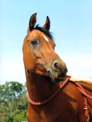 "Jim's Arabian mare ""Cynnamon"""