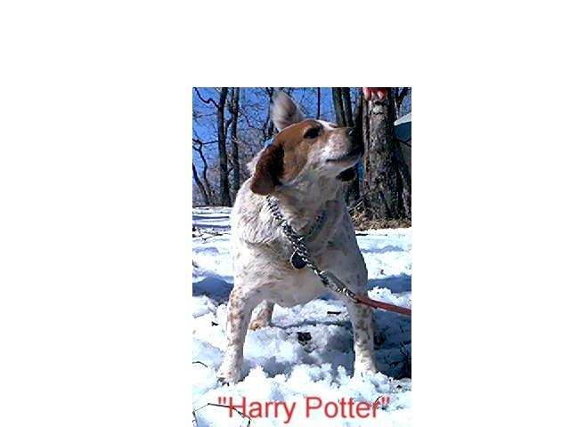 Harry Potter, beagle/terrier mix