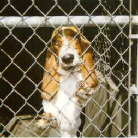 Photo courtesy of David Haywood, bassethoundrescue.com